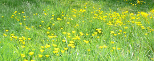 Buttercups in Neal\'s Yard